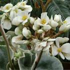 Fuzzy Leaf Begonia