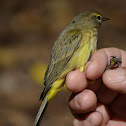 Palm Warbler (female)