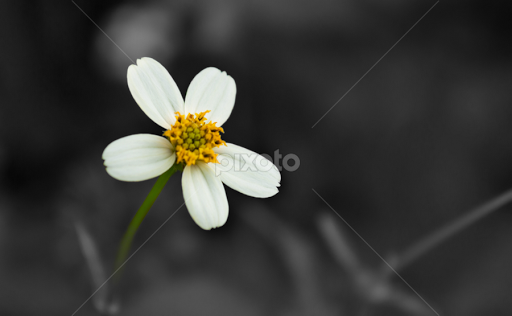 The single flower by sreekumar paikkat flowers single flower white flower color flower