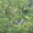 Azulejo Común o Tangara Azulada