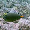 Orange Spine Unicorn Fish