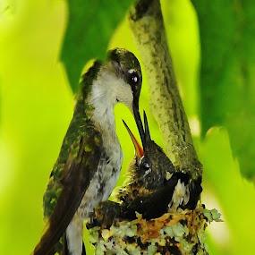 Hummingbird Nursery by Linda Labbe - Animals Birds ( chick, nurturing, hummingbird, nest, feeding, young )