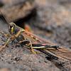 Saltamontes de Galápagos (Large Painted Locust)