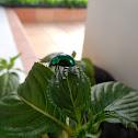 Chrysomelid beetle