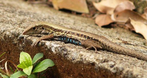 lizard-dominica - A golden-colored lizard on Dominica.