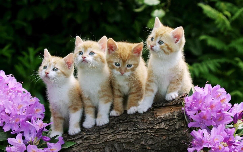 Kitten Wallpaper Apl Android Di Google Play