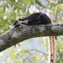 Malayan Giant - Squirrel