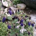 Sarastro bellflower