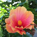 Hibiscus X