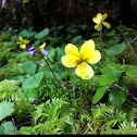 Twoflower violet or Yellow Woods Violet