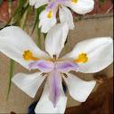 Clackamas Iris
