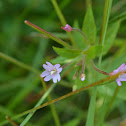 Purple-leaved Willow Herb