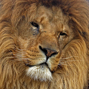 Portrait of a male Lion by John Davies - Animals Lions, Tigers & Big Cats ( king of the jungle, lion, big cats, whf, wildlife heritage foundation, lion portrait,  )