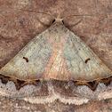 Plecoptera annexa
