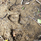 White-Tailed Deer (track)