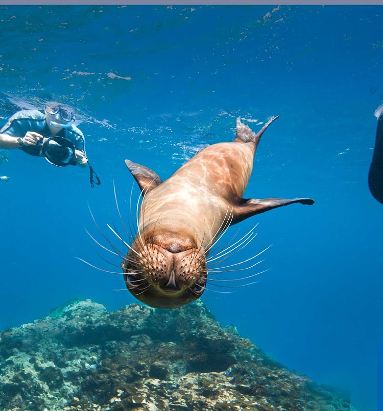 Have an amazing snorkeling adventure with playful sea critters while on your Lindblad Expeditions tour of the Galápagos Islands.