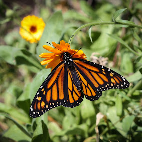 Before the Flight by Laura Gardner - Novices Only Wildlife ( butterfly, migration, orange, monarch, nd, outdoors, summer, landscape, flower, , colorful, mood factory, vibrant, happiness, January, moods, emotions, inspiration )