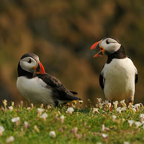Yeah Right!! by Harry Eggens - Animals Birds ( wales, wildlife, atlantic, clown-of -the-sea, fratercula arctica, island, bird, nature, skomer, horizontal, atlantic puffin, puffin, animal )