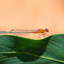 Red Blue Damselfly