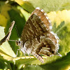 Mariposa taladro de los geranios. Geranium Bronze