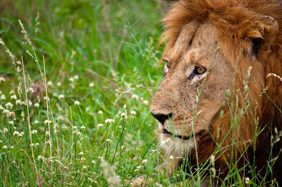 Pensive king by Adrian Berghorst - Animals Lions, Tigers & Big Cats ( #pensive, #grass, #lion, #rest, #look,  )
