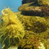 Straited Frogfish