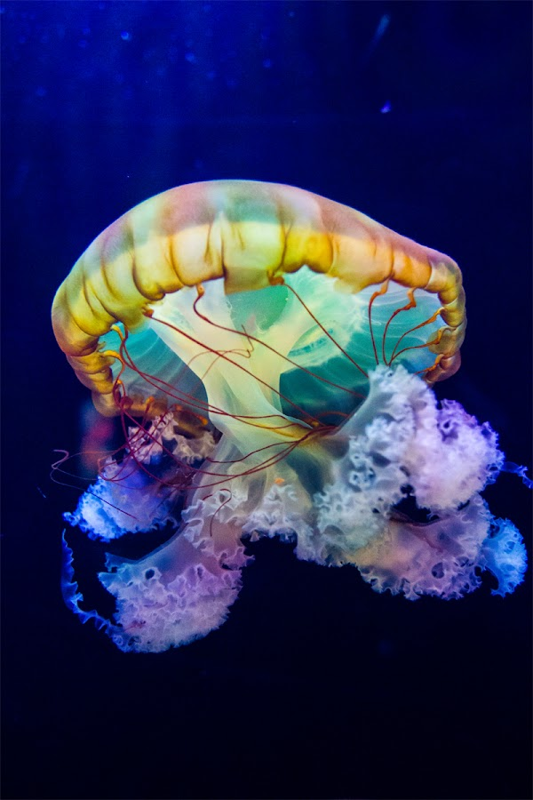 Jelly Fish by rich AMeN Gill by Rich Gill - Animals Sea Creatures ( rich amen gill, sea creature, albuquerque, canon t2i, jelly fish, new mexico, rich gill )