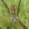 Grass cross spider