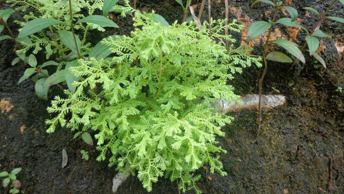 Selaginella /Resurrection Plant/ Little Club Moss