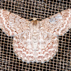 Pingasa Moth