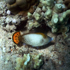 Fantail Filefish