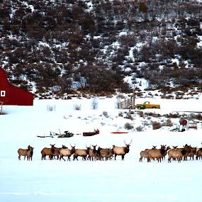 Elk Moving Through by George Kremer - Landscapes Prairies, Meadows & Fields ( field, red barn.winter, pasture, elk, snow, herd )
