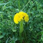 Dandelion / Maslačak (cristate)