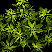 Weed A HD Live Wallpapers