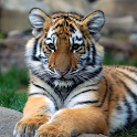 Tiger Wallpaper LWP icon