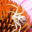 Smooth Flower Crab Spider