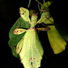 Leaf Insect, Phasmid - Female