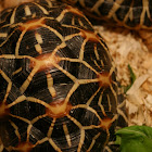 Star Tortoise