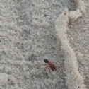 Red Fire Ant
