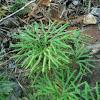 Ground cedar/ground pine