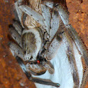 Huntsman Spider with Egg Sack