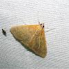 Hahncappsia Moth