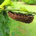 Florida Polydamas Swallowtail caterpillar