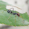 The Black Ant Mimicking Spider