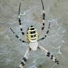 Wasp spider (αράχνη Αργιόπη)