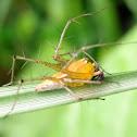 Yellow Lynx Spider