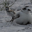 Snowy Plover & chicks