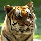 Tiger Puzzles. icon