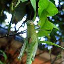 Grasshopper hanging