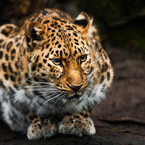 Amur Leopard x3 by Don Alexander Lumsden - Animals Lions, Tigers & Big Cats